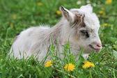 Goatling — Stock Photo