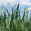 Green reeds - Stock Photo