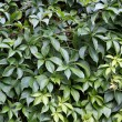 Ivy leaves - Stock Photo