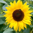 Honeybee on sunflower — Stock Photo