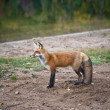 Red North American fox cub — Stock Photo