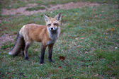 Red North American fox cub — Stock Photo
