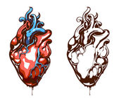 Anatomical heart isolated on white — Stock Vector
