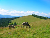 Pasture in Carpathian mountains — Stock Photo