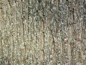 Old oak bark — Stock Photo