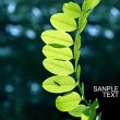 Close up of fresh leaves of acacia in forest — Stock Photo