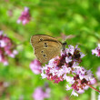 Ringlet (Aphantopus hyperantus) — Stock Photo #6962699
