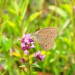 Ringlet (Aphantopus hyperantus) — Stock Photo #6968245