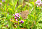 Ringlet (Aphantopus hyperantus) — Stock Photo