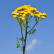 Tansy (Tanacetum vulgare) - Stock Photo