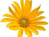 Small sunflower — Stock Photo
