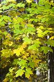Akçaağaç sonbahar yaprakları — Stok fotoğraf