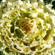 Decorative cauliflower flower — Stock Photo