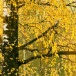 Yellow leaves on an autumn birch — Stock Photo
