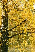 Yellow leaves on an autumn birch — Stock Photo
