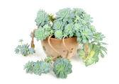 Echeveria Elegans in Flower Pot — Stock Photo