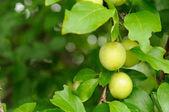 Cherry pruimen op tak — Stockfoto