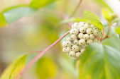 Berries of Siberian Dogwood (Cornus Alba) — Стоковое фото