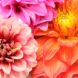 Bouquet of Beautiful Multicolored Dahlia Flowers Close-up — Stock Photo