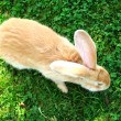 Red Rabbit in Grass (Top View) — Stock Photo