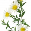 New York Aster Flowers on White Background — Stock Photo