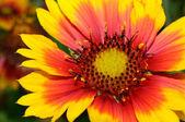 Güzel Gaillardia (battaniyesi çiçeği) yakın çekim — Stok fotoğraf