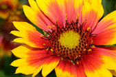 Gaillardia linda (manta flor) close-up — Fotografia Stock