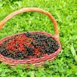 Basket Full of Berries (Black and Red Currants) in Green Grass - Stock Photo