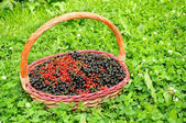 Basket Full of Berries (Black and Red Currants) in Green Grass — Foto Stock
