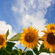 Stock Photo: Sunflower and blue cloudy sky