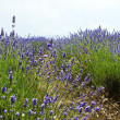 Close up of lavender in a field landscape — Stock Photo #7631300