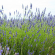 Close up of lavender in a field landscape — Stock Photo #7631309
