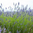 Close up of lavender in a field landscape — Stock Photo