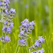 Close up of lavender in a field landscape — Stock Photo #7631321