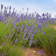 Stock Photo: Close up of lavender in a field landscape