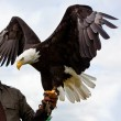 Bald Headed Eagle — Stock Photo