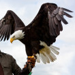 Stock Photo: Bald Headed Eagle