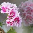 Geranium — Stock Photo #7118247