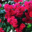 Stock Photo: Roses bush