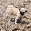 Pug on the beach — Stock Photo