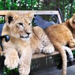 Stock Photo: Two lion cubs