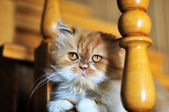 Red persian cat — Stock Photo