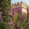 Judas tree in bloom in Alhambra gardens in Granada — Stock Photo