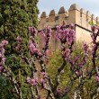 Judas tree in bloom in Alhambra gardens in Granada - Stock Photo