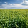 Field of grass — Stock Photo #7400687