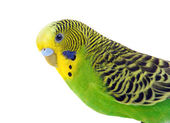 Green and yellow budgie — Стоковое фото
