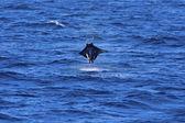 Manta ray jumping — Stock Photo