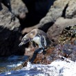 A Galapagos Penguin — Stock Photo