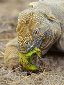 Galapagos land iguana — Stock Photo