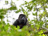 Un mono aullador — Foto de Stock